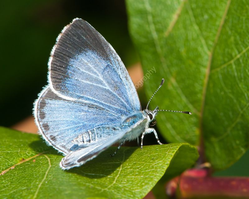 Holly Blue female