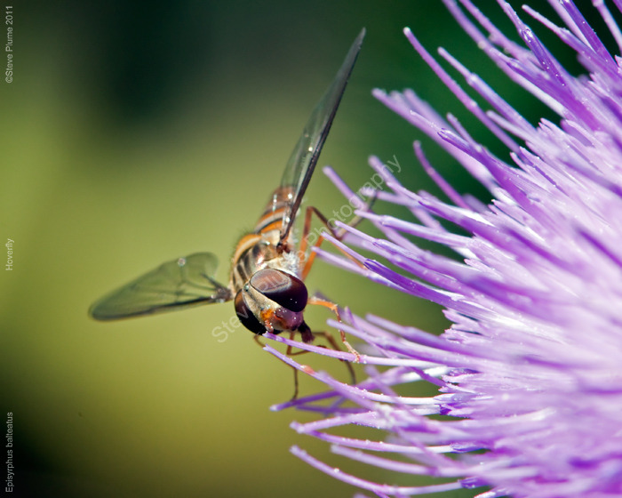 Hoverfly on Milk thistle