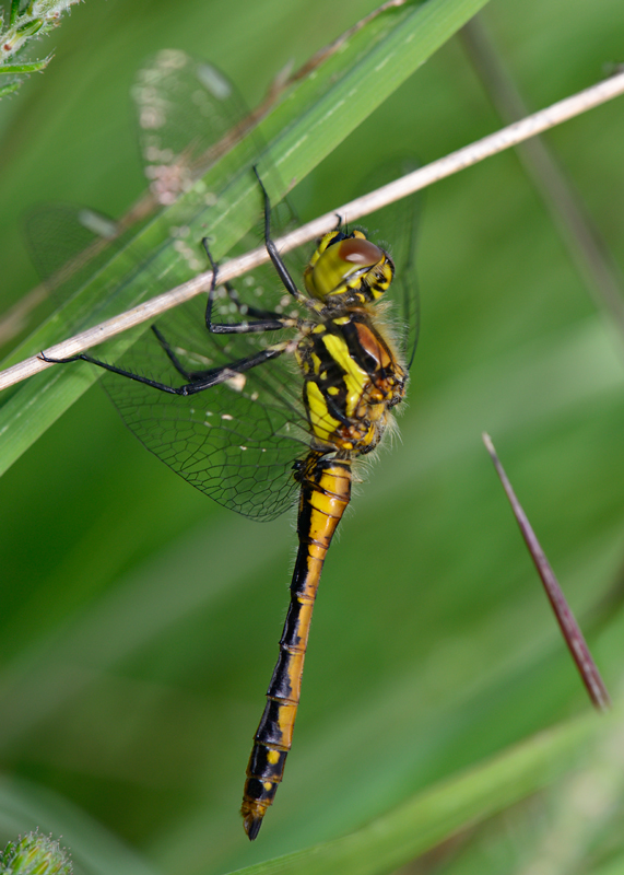 Immature Black Darter male