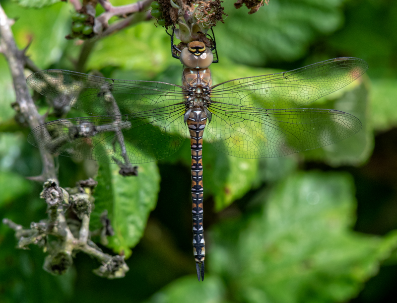 imm Migrant Hawker female
