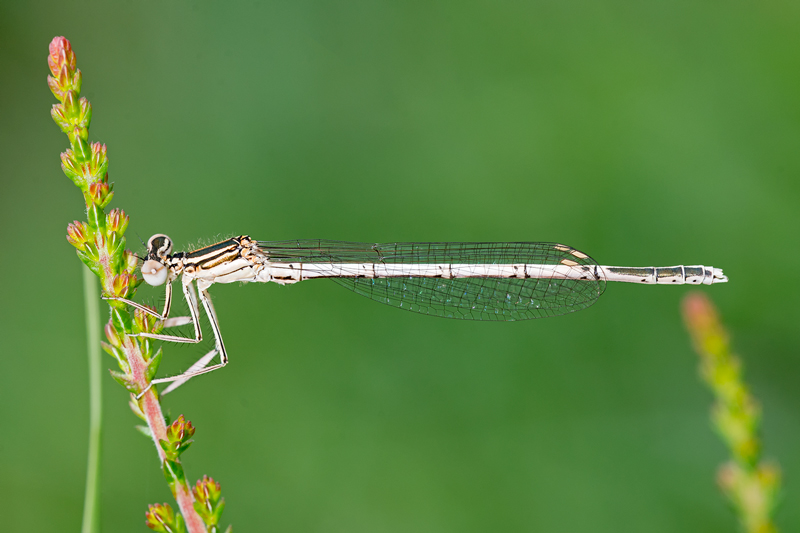 Immature male White Legged Damselfly