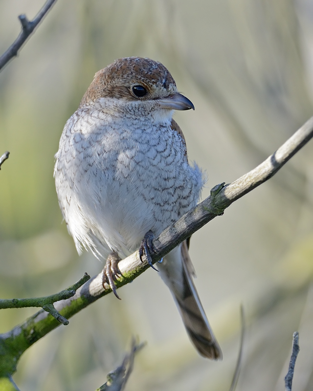 Red-backed shrike (Juv)