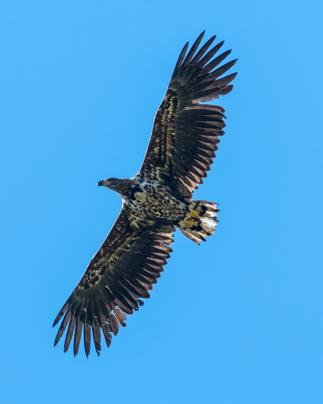 Juv White-tailed Eagle