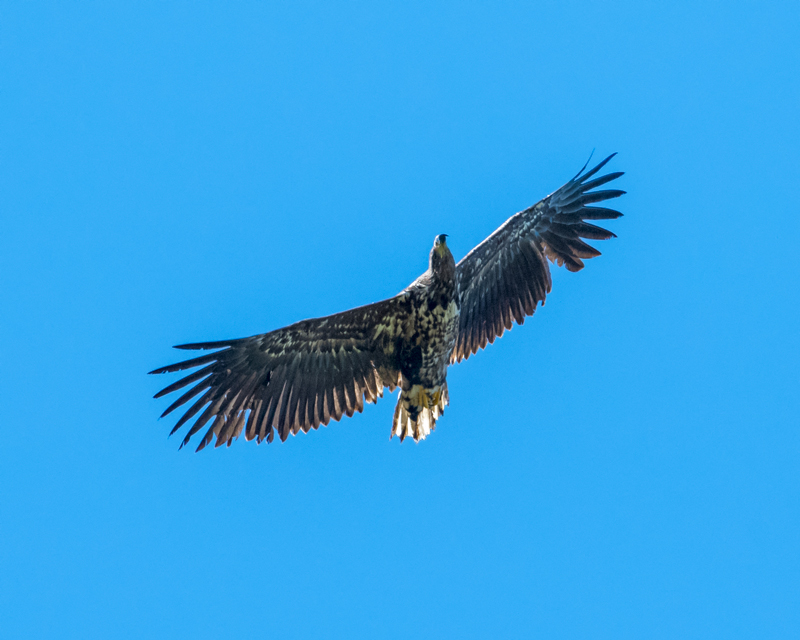 juv White-tailed Eagle