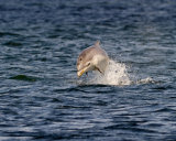 Juv Dolphin breach