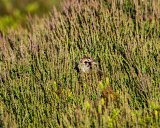 Young Grouse