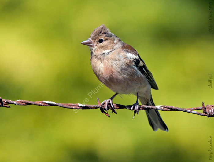 Juvenile male Chaffinch