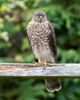 Sparrowhawk Juvenile