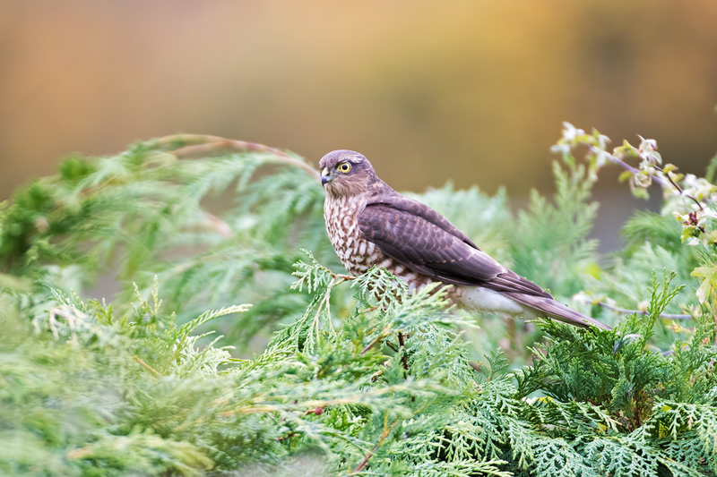 Hawk in a bush