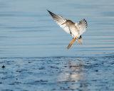 Redshank landing