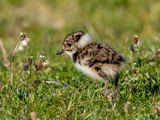 Lapwing fledgling