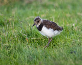 Lapwing Teenager