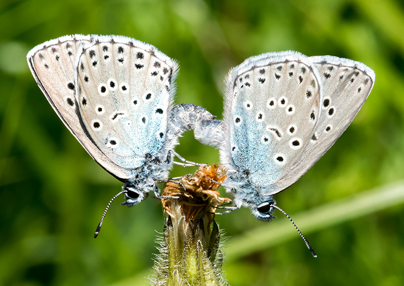 Large Blue - mid coitus