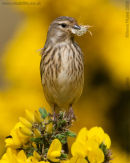 Linnet and nest material