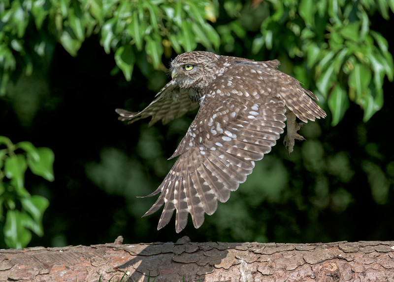 Little Owl at full stretch