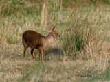 male Chinese Water Deer looking for a mate