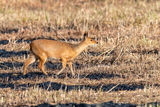 male Chinese Water Deer