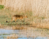 Chinese Water Deer - buck