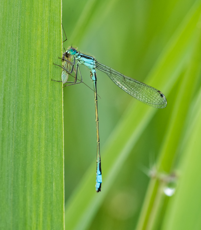 male Blue-tailed damselfly having a snack