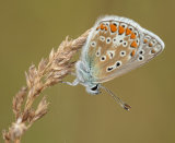 Common Blue male underwing