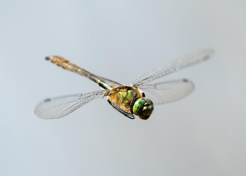 Downy Emerald -male
