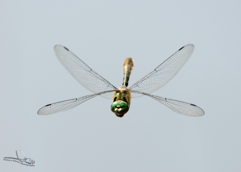 Downy Emerald -male