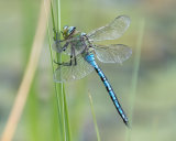 Emperor Dragonfly- male