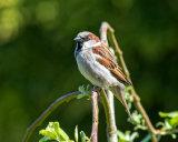 male House Sparrow