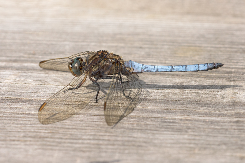 Keeled Skimmer male