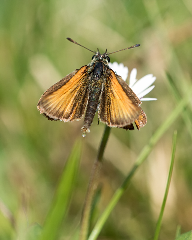 Lulworth Skipper - male