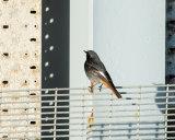 Black Redstart male