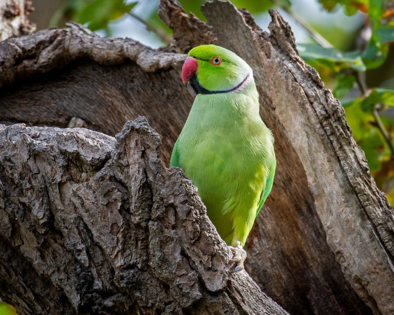 male Ring-necked Parakeet