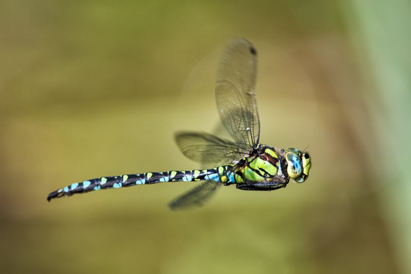 Southern Hawker - in flight