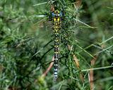 male Southern Hawker