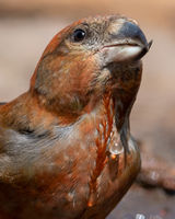 Its why were called Crossbills