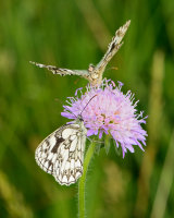 Marbled White, offering