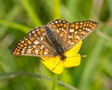 Marsh Fritillary on Buttercup