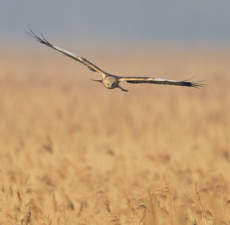 Marsh Harrier male