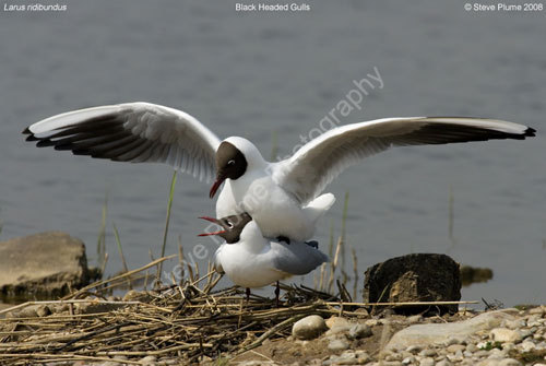 mating Black Headed Gulls
