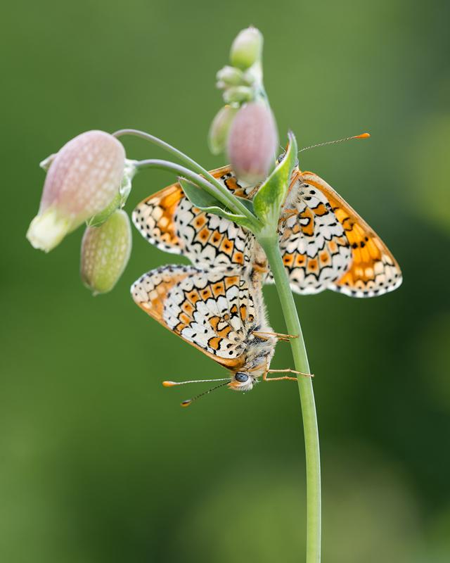 Mating Glanville Frittilaries