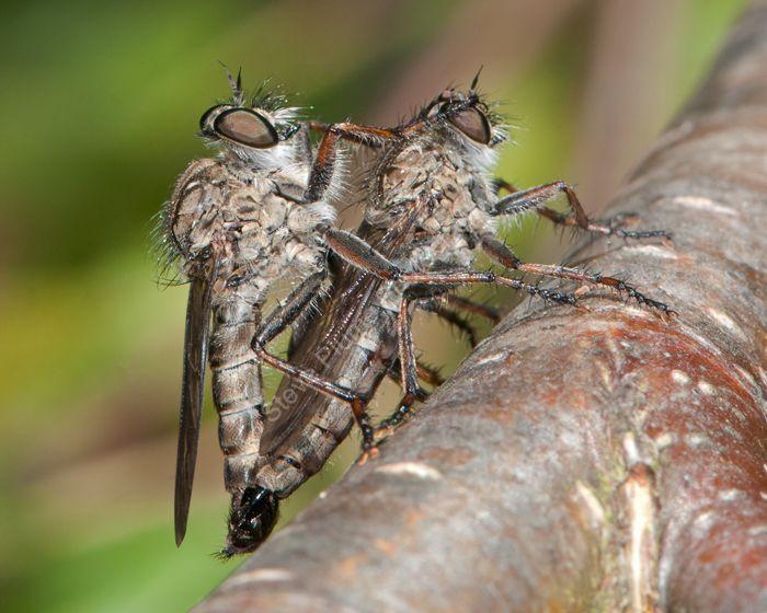 Horse Flies mating