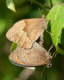 Meadow Brown Butterlies mating