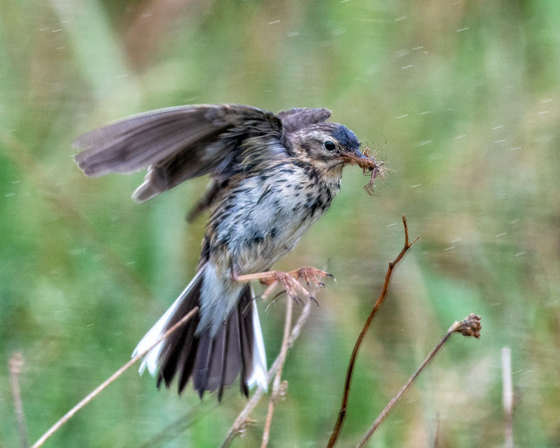 Meadow Pipit hunting