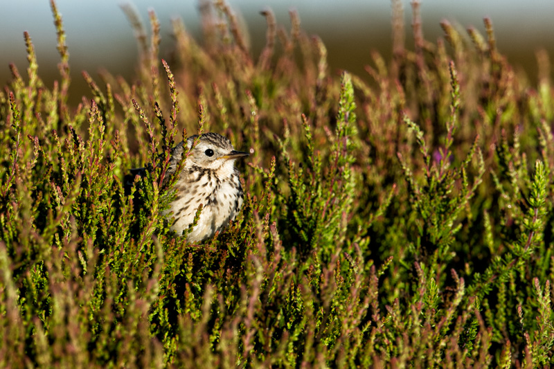 Meadow Pipit in heather