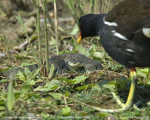 Moorhen vs Grass Snake