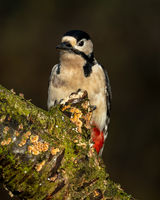female Great-spotted Woodpecker