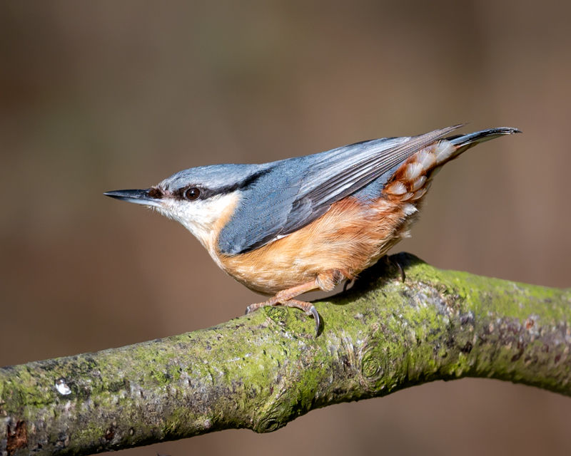 male Nuthatch