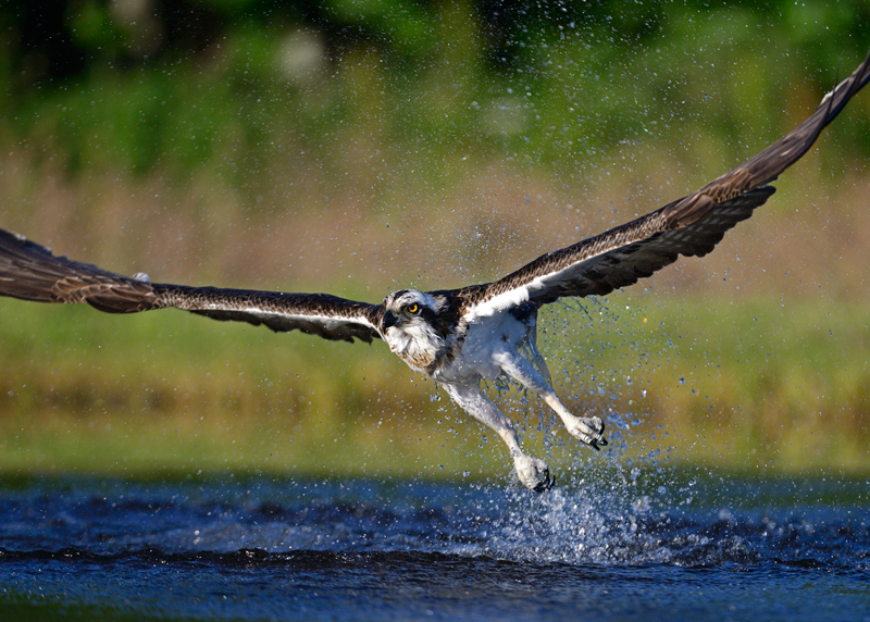 Osprey no fish