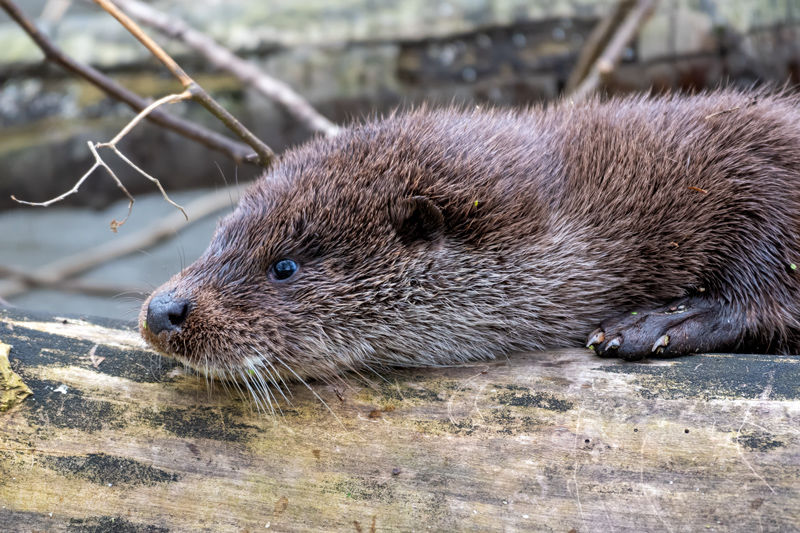 Otter Cub