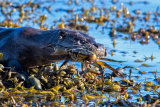 Otter with shore Crab